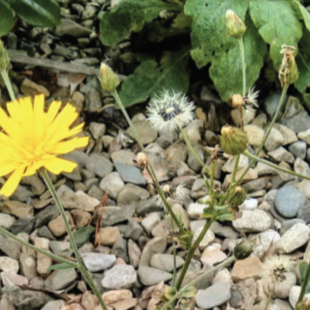 Hieracium scullyi